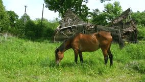 Horse Grazing Grass On Meadow In Front Of Half-Destroyed House. In summer on a sunny day stock video