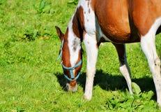 Horse, Grazing, Grass, Pasture stock photo