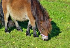 Horse, Grazing, Grass, Pasture Royalty Free Stock Photography