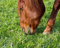 Horse grazing grass Royalty Free Stock Photos