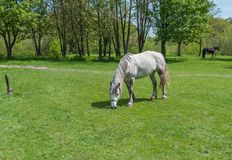 Horse grazing grass. On a spring pasture royalty free stock photos