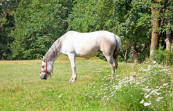 Horse grazing in grassland Royalty Free Stock Photography