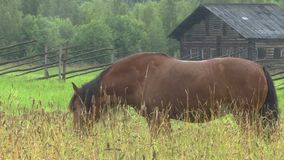 Horse grazing on a green field.  stock footage