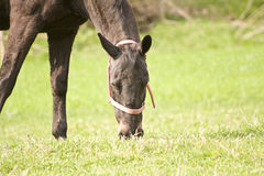 Horse grazing on the green field Stock Images