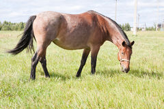 The Horse Grazing in a Green Field Royalty Free Stock Photography