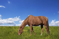 Horse grazing on green field Stock Photos