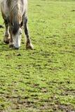 Horse grazing in green field Stock Photo