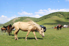 Horse grazing on a green field Royalty Free Stock Images