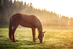 Horse grazing on a green field at sunrise, landscape Royalty Free Stock Photo