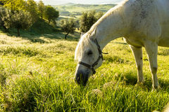 Horse grazing on a green meadow. Horse free-range on the Tuscan fields Royalty Free Stock Images