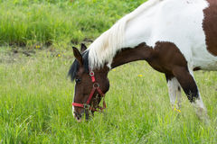 Horse grazing on a green meadow Royalty Free Stock Photography