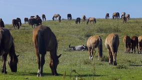 Horse grazing on green meadow stock video footage