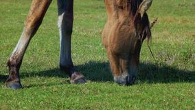 Horse grazing on green meadow