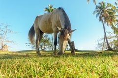 Horse grazing on a green meadow surrounded by palm trees. Cattle-breeding Stock Images