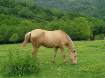 Horse grazing on green meadow with wildflowers Royalty Free Stock Photography