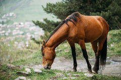Horse Grazing On Green Mountain Slope In Spring In Mountains. Brown Horse Grazing On Green Mountain Slope In Spring In Mountains Of Georgia Stock Photos
