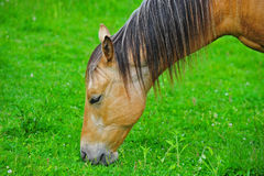 Horse grazing in a green pasture. A beautiful chestnut stallion grazing in a green pasture royalty free stock images