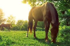 A horse is grazing on green pasture on a bright sunny day. Close up stock photos