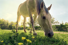 A horse is grazing on green pasture on a bright sunny day. Close up stock photography