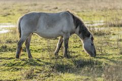 Horse grazing on a green pasture in a national park stock images