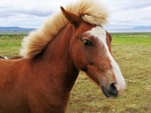 Horse grazing on green pastures.  Royalty Free Stock Photography