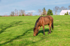 Horse grazing on green pastures of horse farm. Country landscape Royalty Free Stock Images