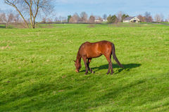 Horse grazing on green pastures of horse farm. Country landscape Royalty Free Stock Photography