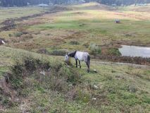 Horse grazing on a hill in Kashmir stock photography