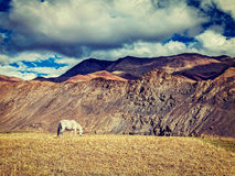 Horse grazing in Himalayas Royalty Free Stock Images
