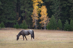 A Horse Grazing in the Historic Methow Valley Royalty Free Stock Photography