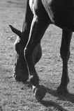 Horse grazing and hooves BW royalty free stock photos