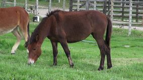 Horse Grazing, Horses, Farm Animals stock video
