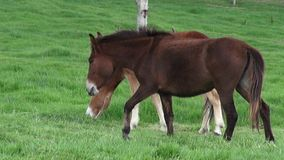 Horse Grazing, Horses, Farm Animals stock video footage