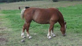 Horse Grazing, Horses, Farm Animals stock footage