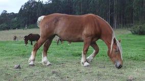 Horse Grazing, Horses, Farm Animals stock video