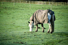 Horse grazing with jacket on Royalty Free Stock Images