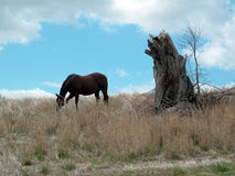 Horse Grazing Landscape with a Tree Stump. Royalty Free Stock Photos