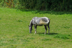A Horse grazing in a lush field in the summertime. Horse grazing in a lush field in the summertime, in Cornwall, UK Royalty Free Stock Image