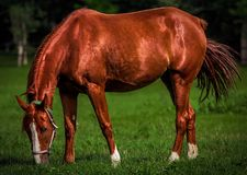 Horse, Grazing, Mane, Mare Royalty Free Stock Image