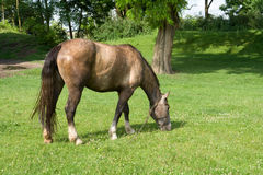 The horse is grazing on a meadow. The horse grazing on a meadow Royalty Free Stock Image