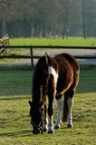 Horse grazing in the meadow Royalty Free Stock Photo