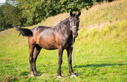 Horse grazing Royalty Free Stock Images
