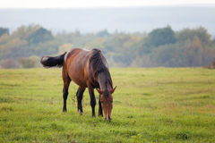 Horse grazing in a meadow Stock Photography