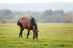 Horse grazing in a meadow Royalty Free Stock Photography