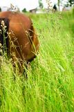 A horse grazing in a meadow. Stock Images