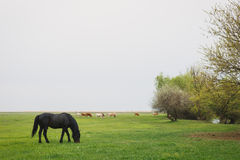 Horse grazing in the meadow Royalty Free Stock Photos