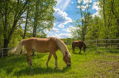 Horse grazing on meadow Royalty Free Stock Photos