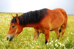 Horse Grazing in Meadow with Daisies Royalty Free Stock Photos