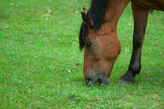 Horse grazing meadow Stock Photography