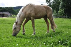 Horse Grazing on Meadow Stock Images